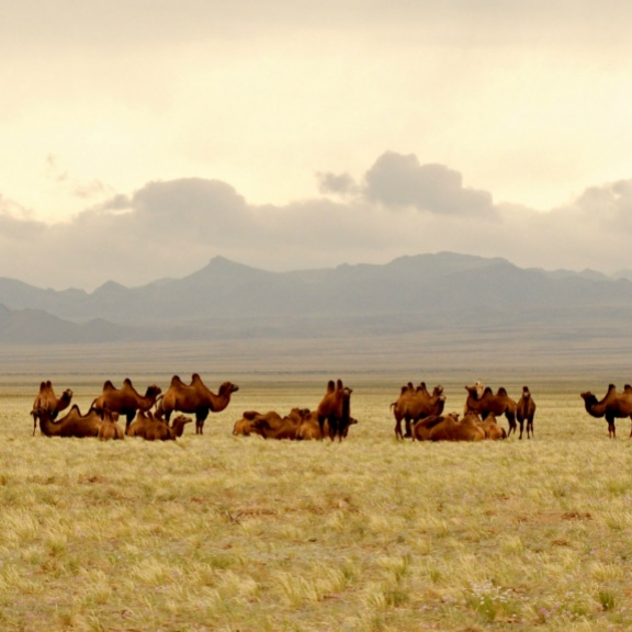 A caravan of camels in Mongolia